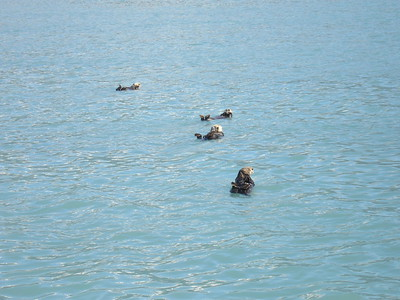 Sea otters float on their backs and eat off of their bellies.