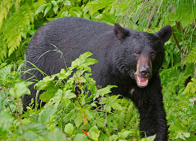 Black bear, Valdez, Alaska.