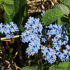 Forget me not.  State flower of AK
