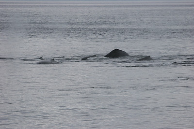 pod of humpbacks