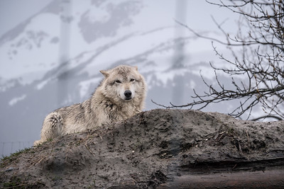 Arctic Wolf at the Alaska Wildlife Conservation Center