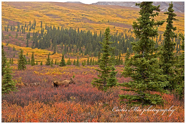 A moose family moves from the tundra to the taiga.
