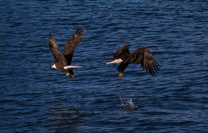 Two Eagles went for one fish. The one on the left was a split second quicker.
