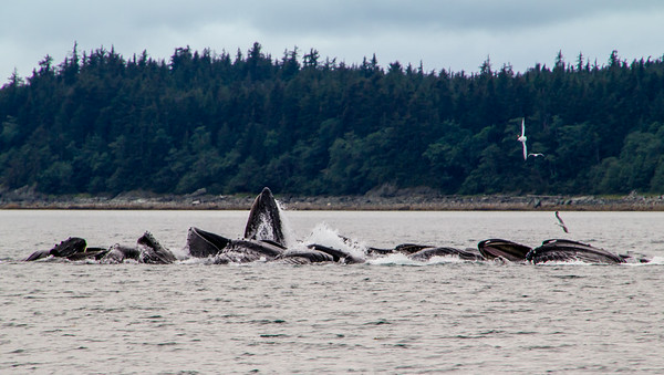 Whale buble feeding