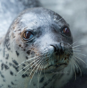 Spotted seal face 1817