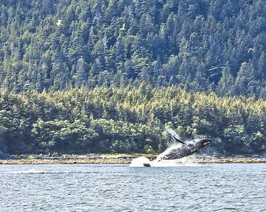 Humpback Whale breaching  in Juneau, Alaska
