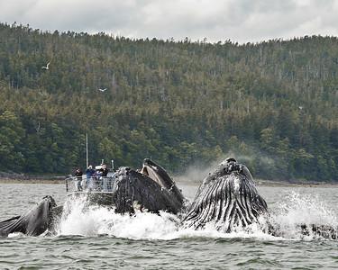 Humpback Whales feeding in Juneau, Alaska