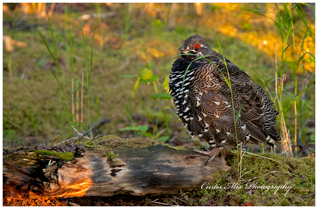 A Spruce Grouse near the trail early in the morning.