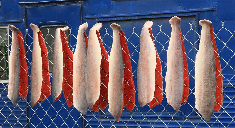 Kleurrijk Silver Salmon tafereel, Chitina, Alaska.