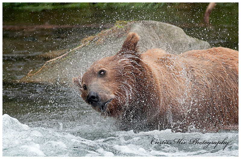 Wet bear shake.