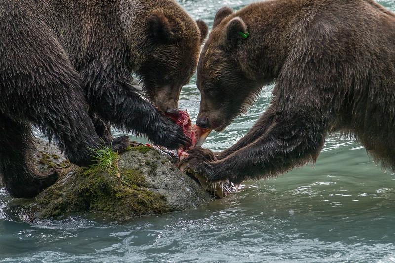 Haines, Alaska Bears (2016)