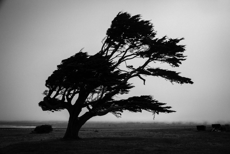 Bent with the wind, Point Arena, California