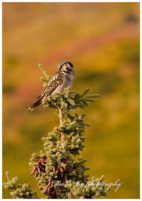 Looking back, Hawk owl.