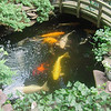 my koi are just as big .but dick had some big ones a butterfly was huge and sold when he moved for big bucks
