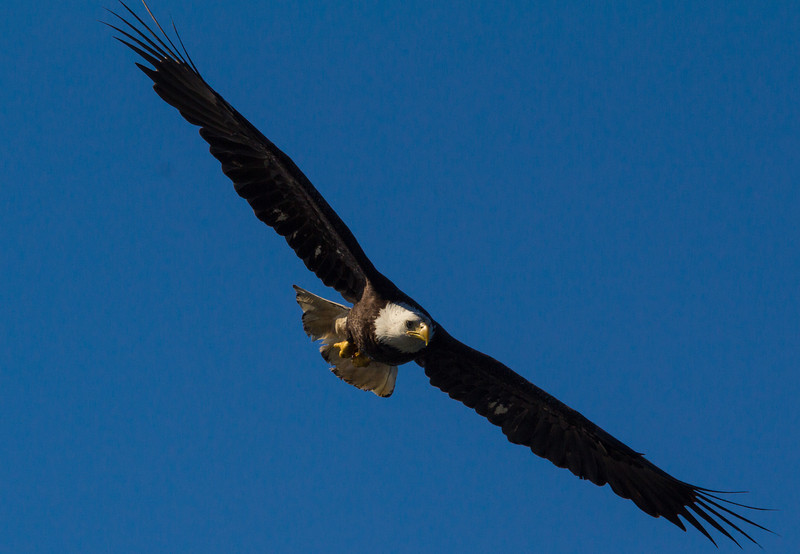 We always seem to see the most Eagles around Ketchikan. It was true again this year.