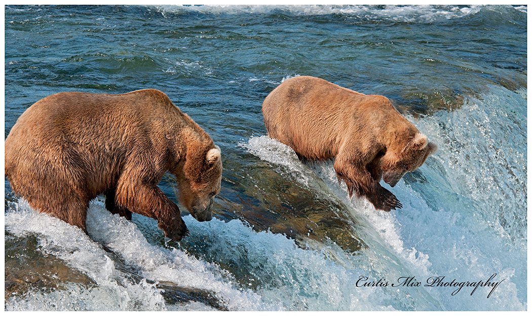 Two bears try their luck on the falls while the fish aren't running.