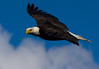 The American Bald Eagle photographs beautifully in sunny weather.