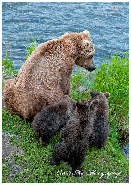 Mama brings the cubs to the falls late in the evening.