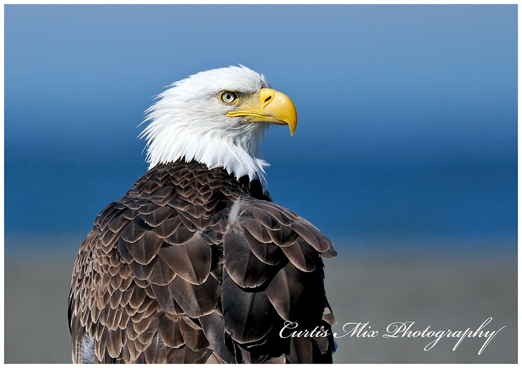 Bald eagle on the beach at Homer.