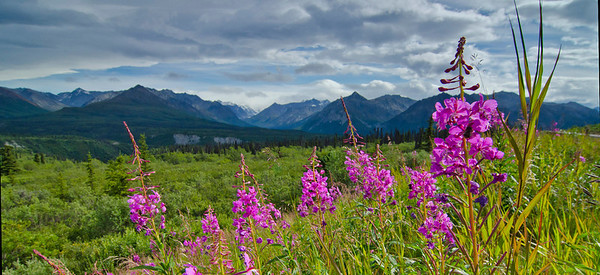 Alaskan Fireweed frames the Chugach Mountains, Glenn Highway, AK