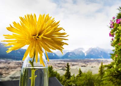 Yellow flower, mountains, Kennicott, Alaska 1955c