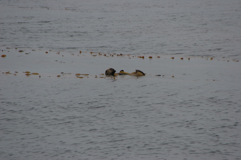 Otters off Sitka