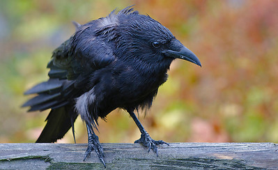 The ubiquitous Alaskan raven (a bit soggy in the Valdez rain).