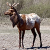 reindeer5660