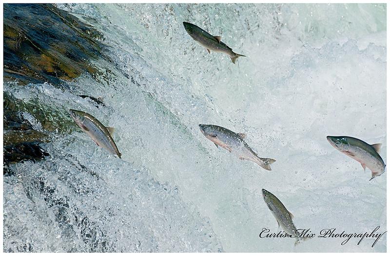 Sockeye Salmon jump up Brooks Falls.