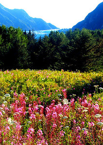 Fire Weed  and Davidson Glacier