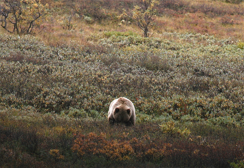Busy Grizzly, Denali National Park, Alaska.
