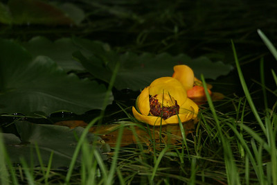 Lily Pads in the bog