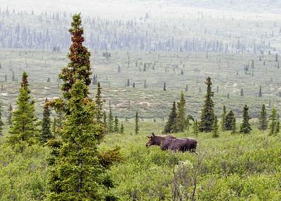 Moose Denali 0507c cf ton