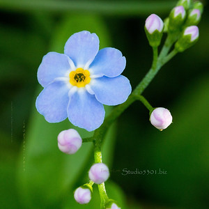 forget me not AK state flower 2111