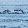 Humback whales, Juneau Alaska