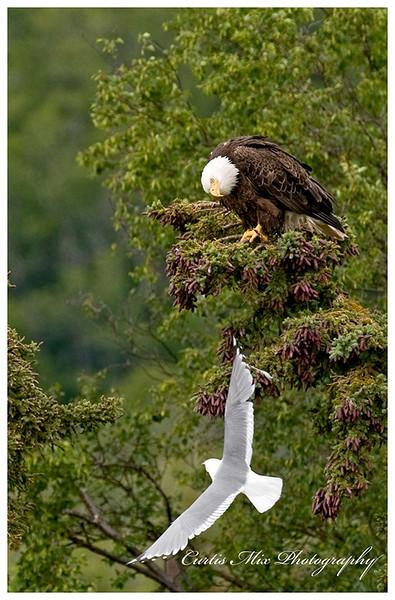 Seagull harassing an eagle.