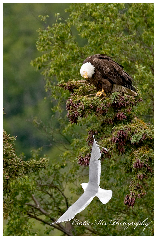 Seagull harassing an eagle.