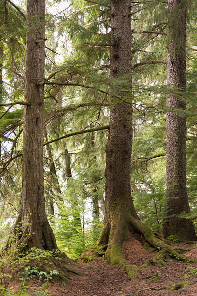 Spruce Trees near Juneau