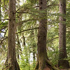 Spruce Trees near Juneau