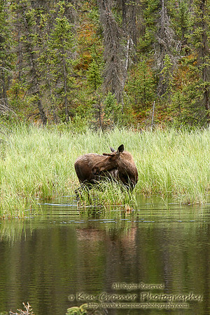 I was riding by at about 40mph on a dirt road to Kennicott when i saw this moose through the woods wading through this large pond of water.  Pulled over and grabbed my camera and was able to get a few good shots with my telephoto lens.