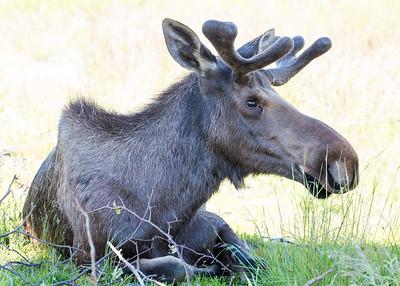 Moose sitting0825