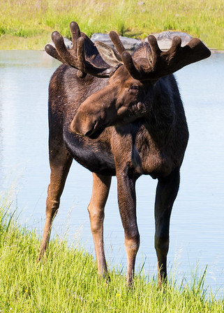 Moose in water L0926