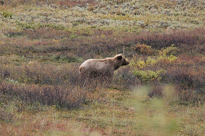 Grizzly in Denali National Park, Alaska.