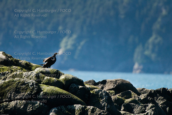 20070807-DSC_1988, Red Faced Cormorant - Kenai Fjords Cruise