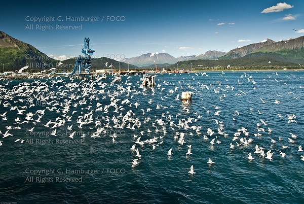 20070807-DSC_2098, Flock of Gulls - Seward