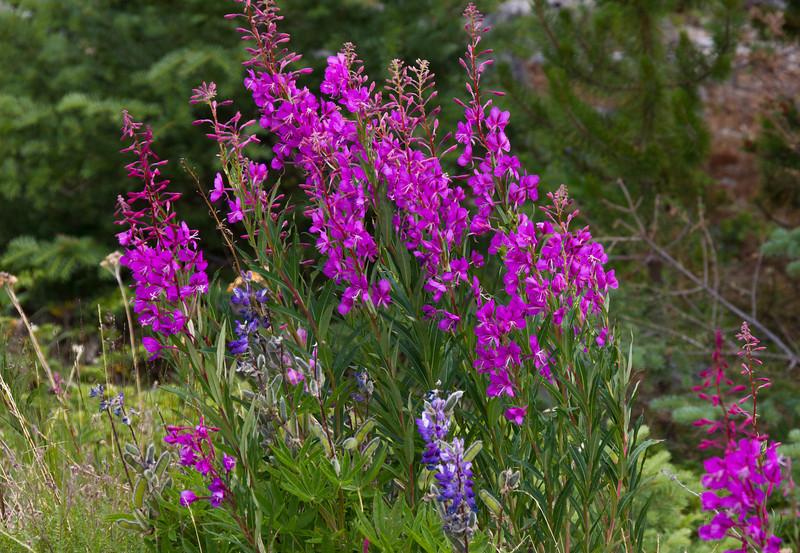 Fireweed and Lupine wildflowers.