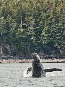 Single Humpback Whale in Juneau, Alaska