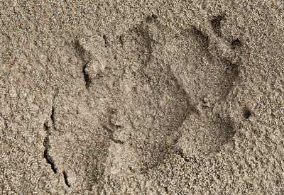bear foot print2029 cf ProC DEx