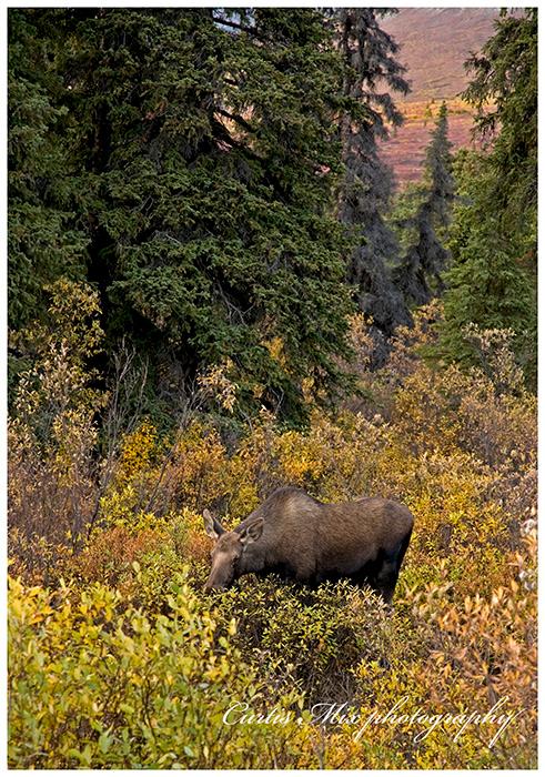 Moose cow.