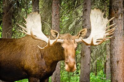 Moose - Fairbanks, Alaska